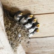 Schwalben im Stall sind für Vögel und Pferde eine ausgesprochene win-win-Situation. © pixabay.com