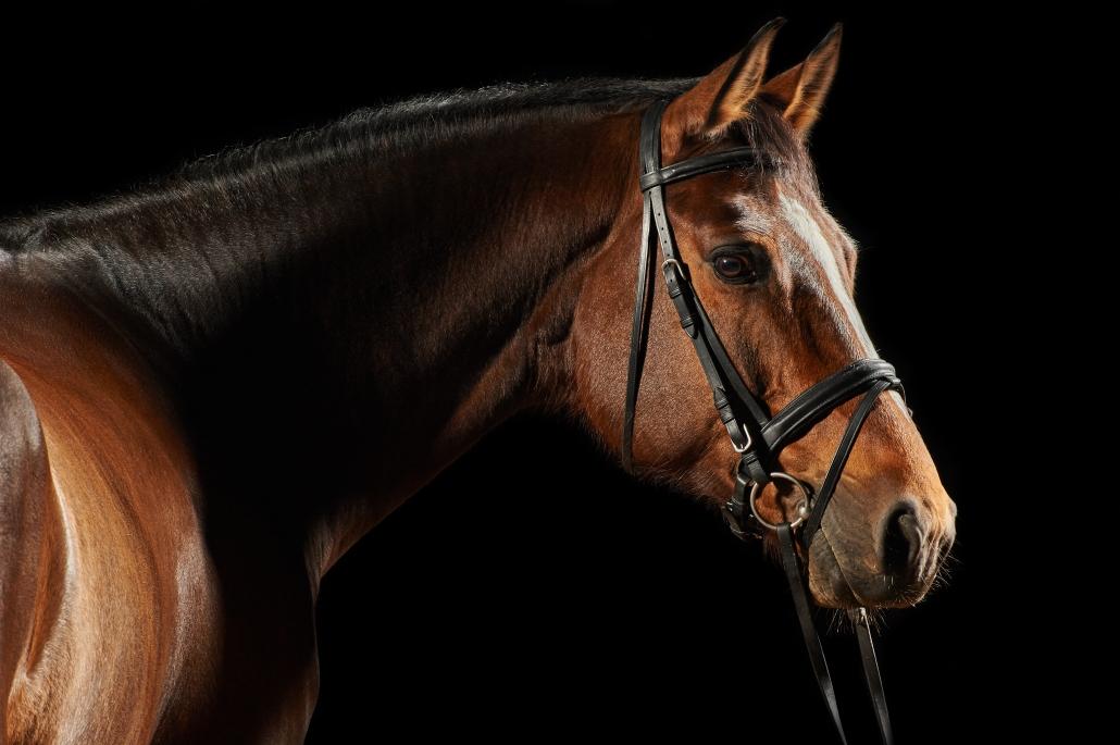 Adobe Stock: Portrait of a bay sport dressage horse