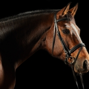Adobe Stock: Portrait of a bay sport dressage horse