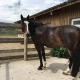 """Caruso hat die OP dank der schnellen Hilfe von """"Unser Partner Pferd"""" gut überstanden. © privat"""