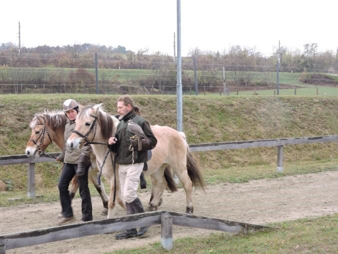 Gleichzeitig zwei Pferde an den Falken zu gewöhnen ist nicht ganz einfach. © privat